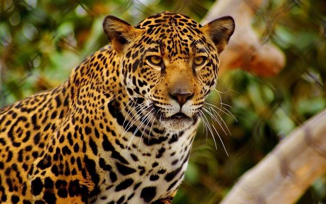 Пятнистый леопард, заборная сетка