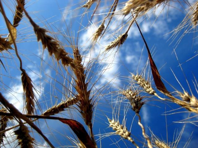 пшеница, поля, небо