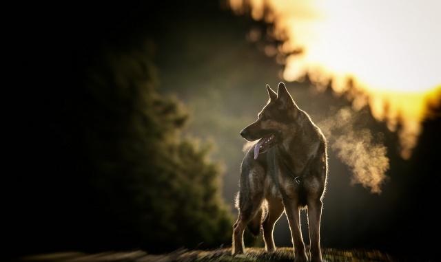 autumn, nature, macro, photo, dog, German shepherd, forest