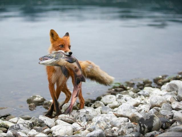 лиса с пойманной рыбой, река, камни