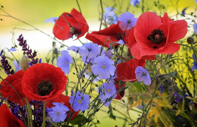 цветы, маки, лен