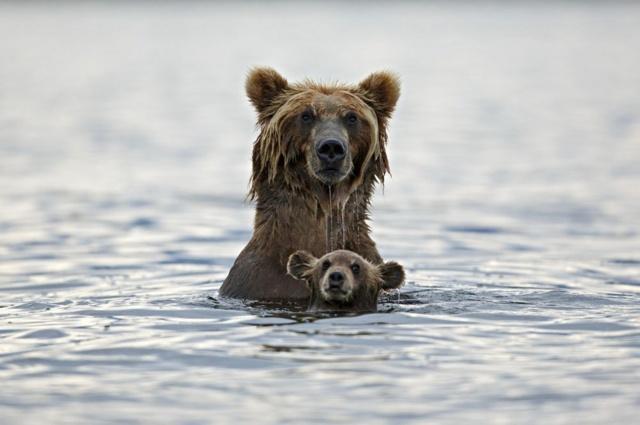 bear with a cub, bathing