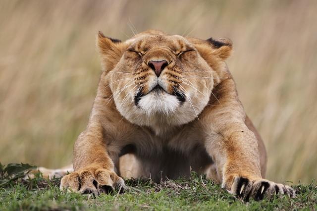 природа, Львица, хищник, лежа, подтягивается