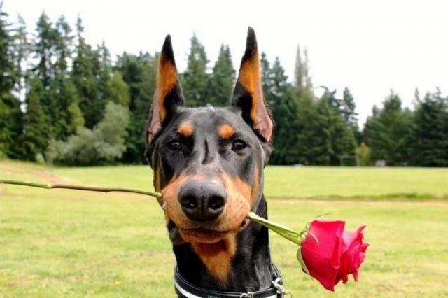 деревья, луг, черный пес, с алой розой в зубах