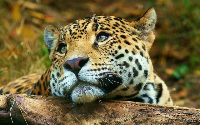 Ягуар, филиал, дерево, большой кот, дикий