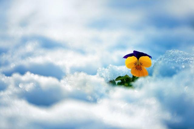 květina, sníh, krása, Macešky
