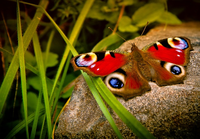 природа, макро, насекомые, бабочка, камень, трава