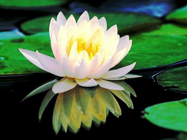 vodní květ, listy, rybník