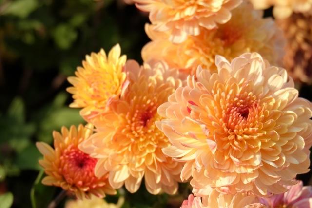 макро, цветы, хризантемы, оранжевый, теплые тона, размытость