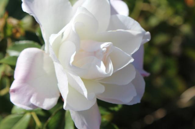 růže, krásně, podzimní růže, květiny