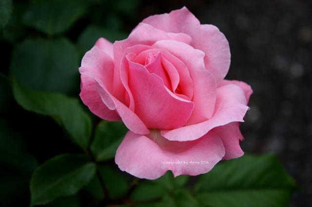 růže, Růžový, listy, oslnění, rozmazání