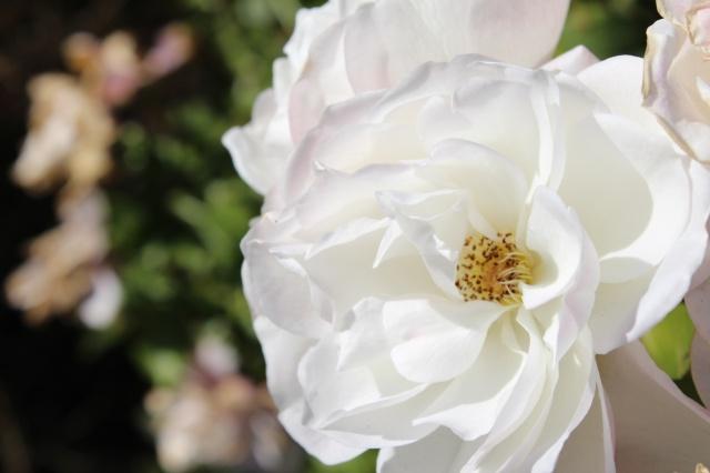růže, krásně, podzimní růže