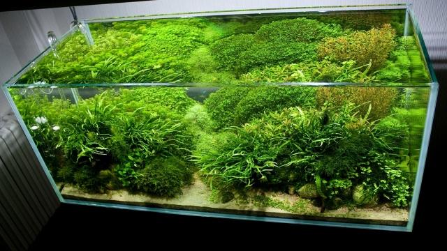 аквариум, водоросли