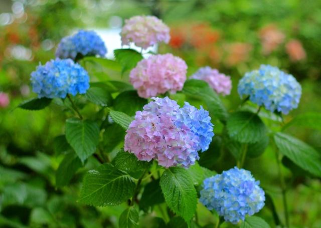 hortenzie, květenství, keř