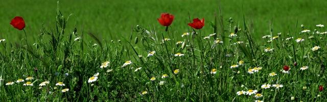 квіти, трава, зелень, ромашки, маки