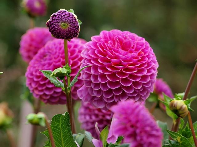 květiny, bud, okvětní lístek, krása