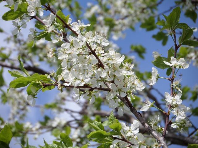 дерево, бузок, Біла