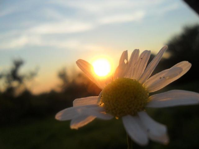 léto, slunce, heřmánek