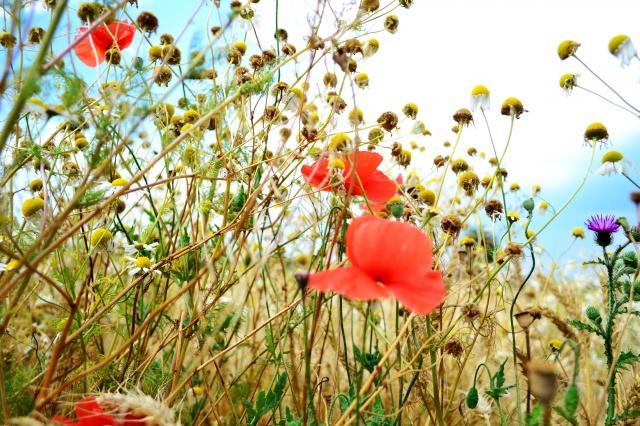 field, summer, nature, Maki, grass, spikelets