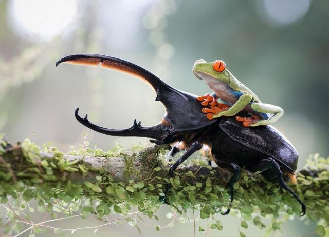 природа, ветка, макро, фото, жук, геркулес, лягушка, наездница