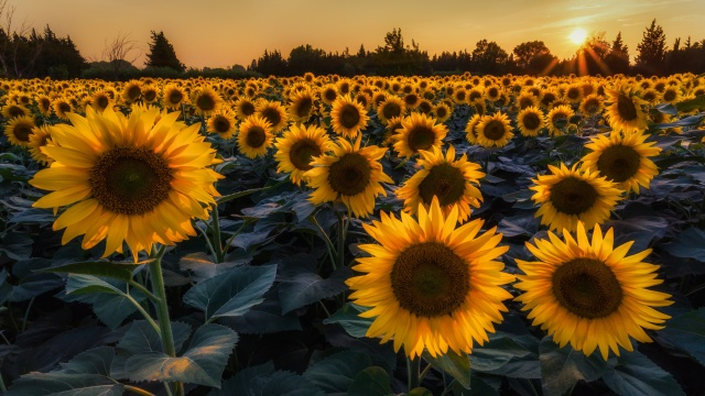 the sky, nature, field, sunflower, the sun, sunset, Ukraine, background, forest
