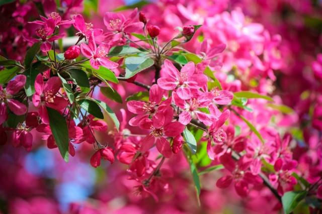 весна, квіти, червоний фон, природа, дерево, гілка, листя, макро, фото