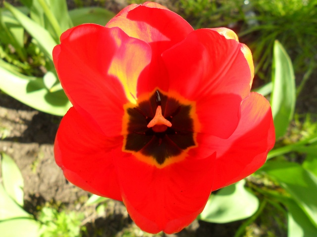 nature, flowers, Tulip