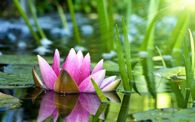 summer, photoshop, river, Lotus, lilies, nature, flower, light, the sun