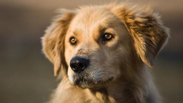 собака, морда, погляд, один, фото