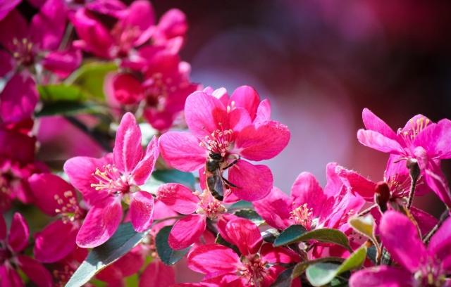 природа, макро, фото, цветы, ветка, листья, пчела, весна