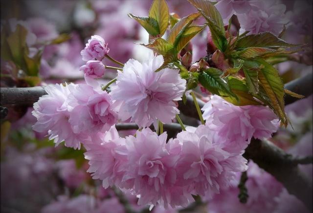 весна, цветы, листья, ветка, природа, макро, фото