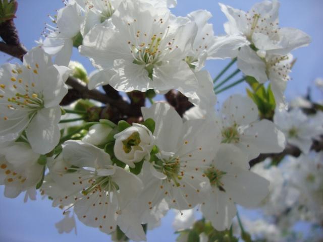 Kvetoucí Třešně, Вишенка