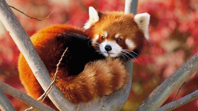 red Panda, muzzle, ears, eyes, mustache, tail, tree, branches, beauty