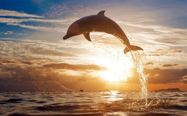 животные, дельфины, море, закат, брызги, прыжок