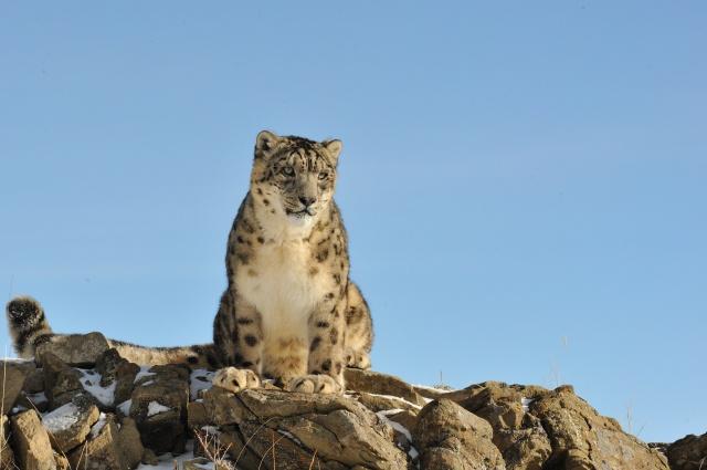 Снежный барс, ирбис, кошка, камни, природа