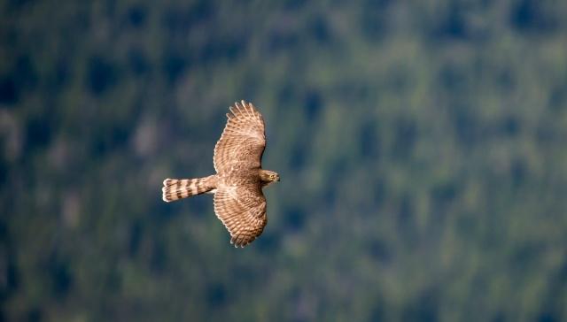 křídla, mávání, pták, let, jestřáb, pták, hawk