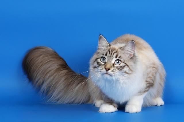 cat, fluffy, tail, eyes, grey .