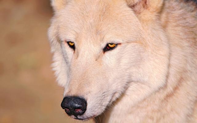nos, oči, vlk, bílá