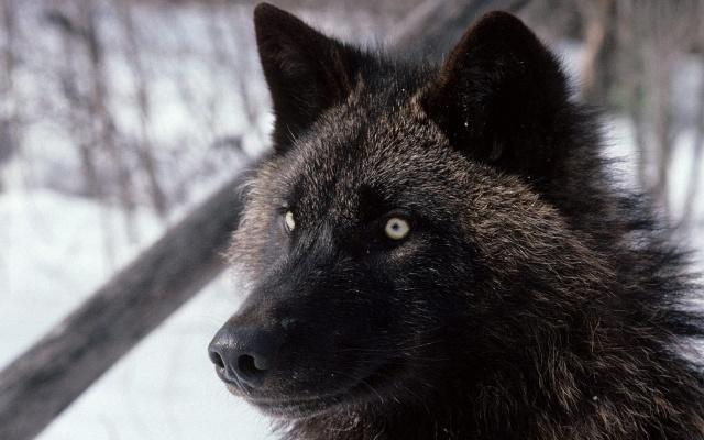 vlk, lov