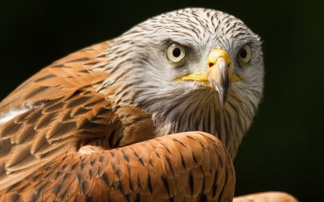 pták, dravec, pohled, peří