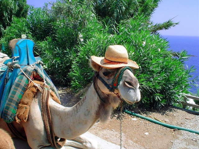 Верблюд, гумор, прикол, красиві .