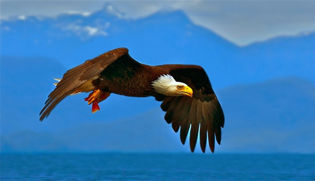 ptáci, americký, белогривый orel, hory .