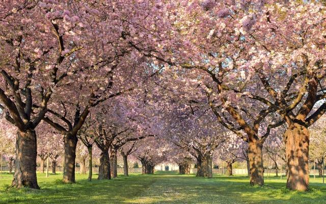 деревья, природа, весна, цветет, Аллея