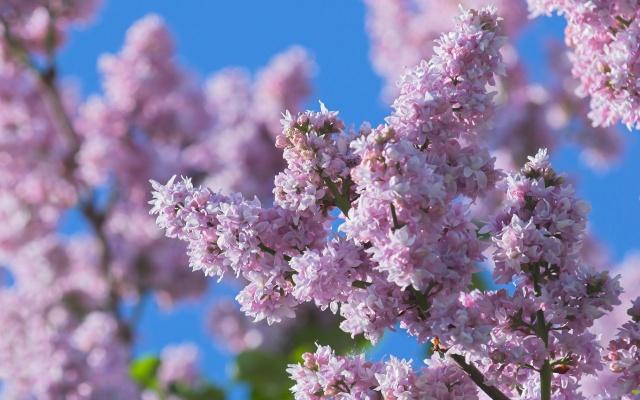 сирень, цветы, весна, природа, макро, фиолет, ветка