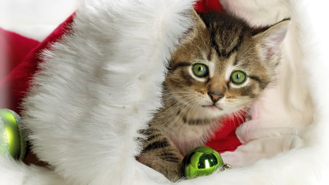 kitten, New year
