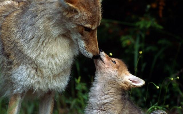 лес, СТАЯ, волки