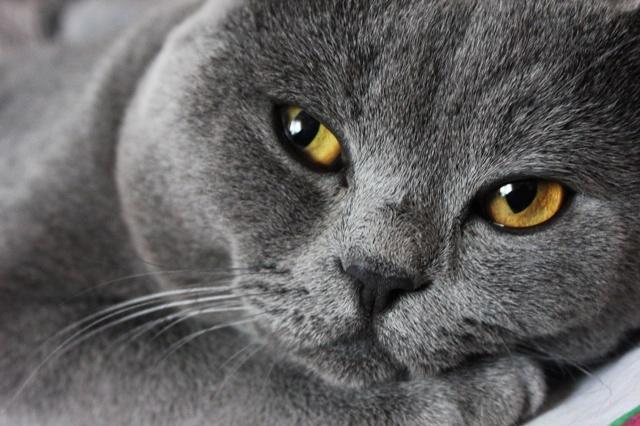 кішка, кошеня, Сірий кіт