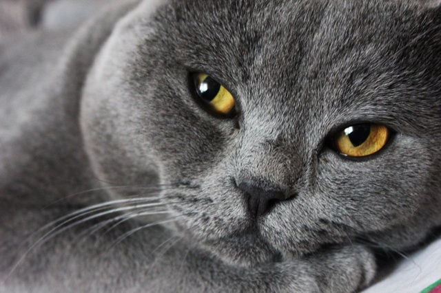 cat, kitten, Grey cat
