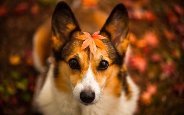 собака, взгляд, лист