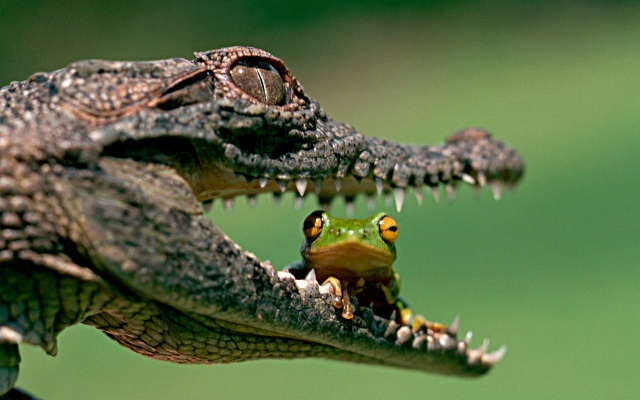 Crocodile, frog, friends